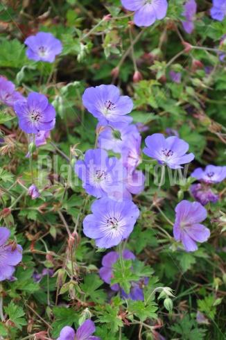 Geranium 'Rozanne' | Ooievaarsbek bloem