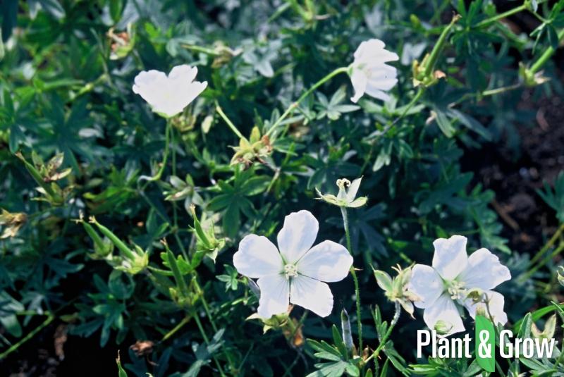 geranium sanguineum 39 album 39 kopen plant grow. Black Bedroom Furniture Sets. Home Design Ideas