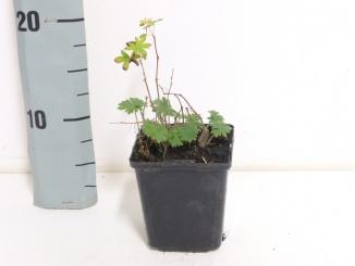 Geranium sanguineum | Bloedooievaarsbek (pot 9x9cm)