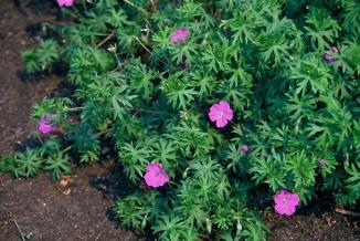 Geranium sanguineum | Bloedooievaarsbek