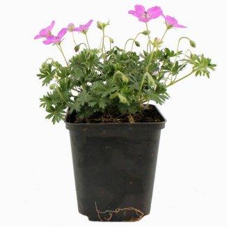 Geranium sanguineum 'Max Frei'   Ooievaarsbek (Ø 17cm pot)