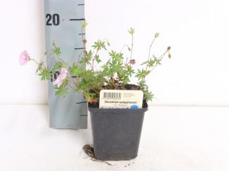 Geranium sanguineum 'Striatum' | Ooievaarsbek (pot 9x9cm)