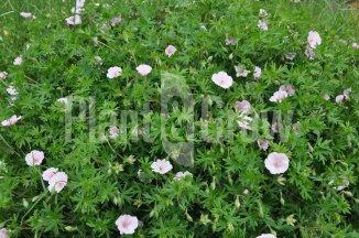 Geranium sanguineum 'Striatum' | Ooievaarsbek