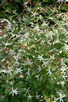 Gillenia trifoliata | Gillenia