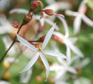 Gillenia trifoliata Gillenia