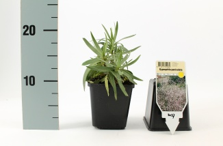 Gypsophila paniculata 'Schneeflocke' | Bruidssluier (pot 9x9cm)