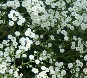 Gypsophila paniculata 'Schneeflocke' Bruidssluier