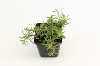 Gypsophila repens 'Alba' | Kruipend gipskruid (pot 9x9cm)