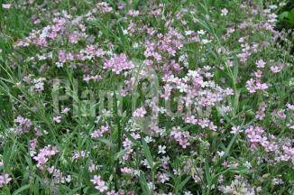 Gypsophila repens 'Rosea' | Kruipend gipskruid
