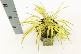 Hakonechloa macra 'Aureola' | Hakonegras (Ø 17cm pot)