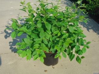 Halesia carolina | Sneeuwklokjesboom (12L pot)