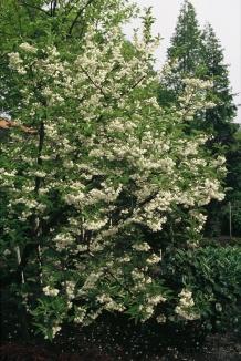 Halesia carolina | Sneeuwklokjesboom