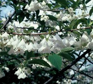 Halesia carolina Sneeuwklokjesboom