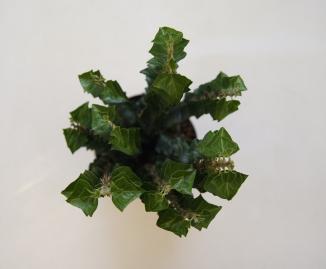 Hedera helix 'Erecta' | Stijve klimop (Ø 17cm pot)