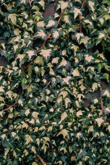 Hedera helix 'Goldheart' | Bonte klimop