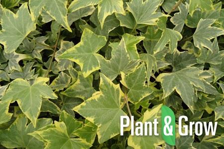 klimop planten
