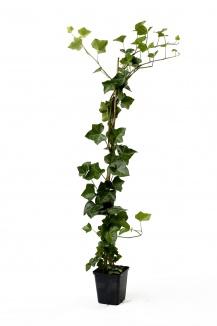 Hedera hibernica | Ierse klimop (40-60 cm | pot 9x9cm) - gestokt