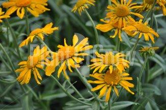 Helenium hoopesii   Zonnekruid