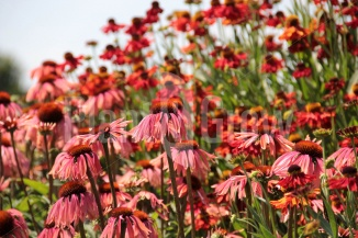 Helenium 'Moerheim Beauty' in combinatie met Echinacea