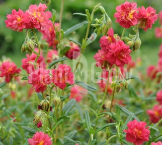 Helianthemum 'Amabile Plenum'