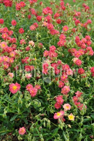Helianthemum 'Amabile Plenum' | Zonneroosje