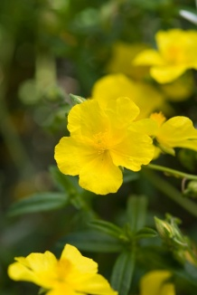Helianthemum 'Golden Queen' | Zonneroosje