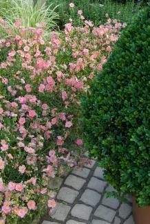 Helianthemum hybride 'Lawrenson's Pink' | Zonneroosje