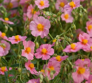 Helianthemum hybride 'Lawrenson's Pink'