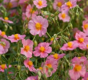 Helianthemum hybride 'Lawrenson's Pink' Zonneroosje