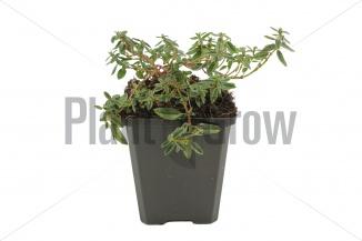 Helianthemum hybride 'Lawrenson's Pink' | Zonneroosje (pot 9x9cm)