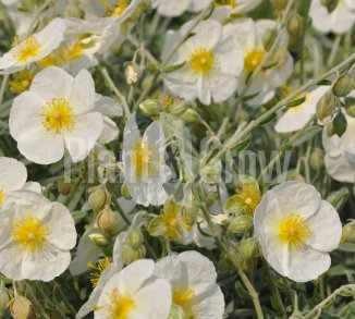 Helianthemum hybride 'The Bride' Zonneroosje