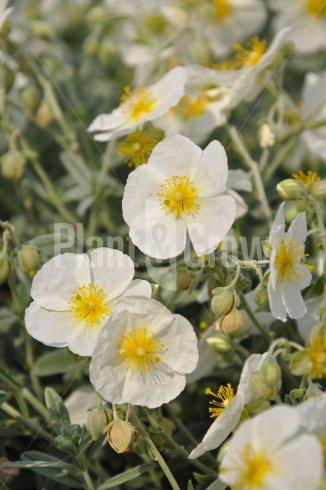 Helianthemum hybride 'The Bride' | Zonneroosje