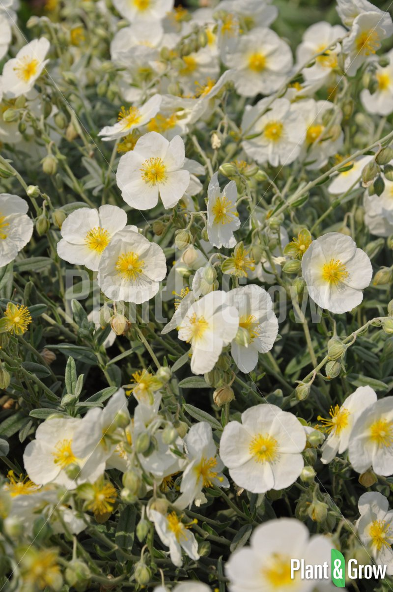 Helianthemum hybride 'The Bride'