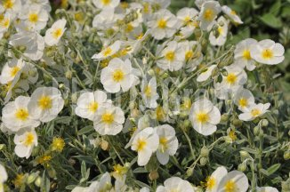 Helianthemum hybride 'The Bride' | Zonneroosje