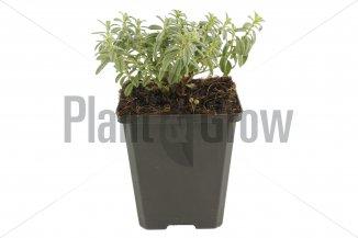 Helianthemum hybride 'The Bride' | Zonneroosje (pot 9x9cm)