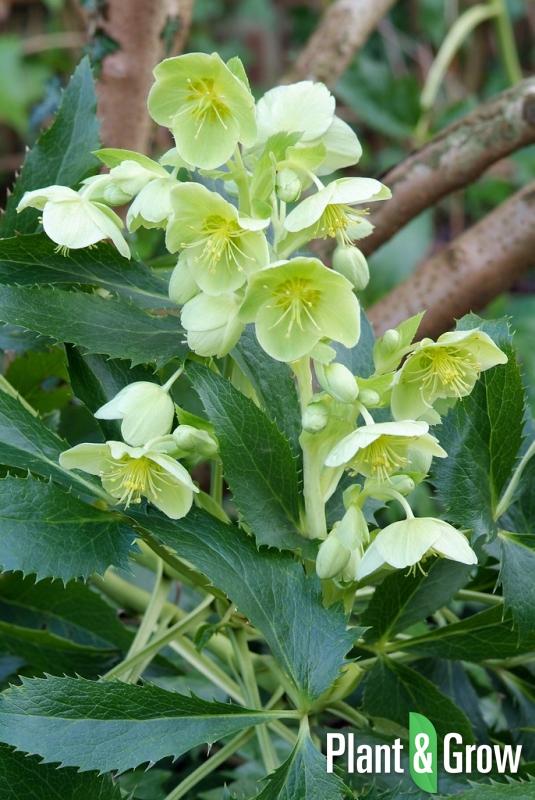 Helleborus Argutifolius Kopen Plant Grow