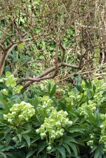 Helleborus argutifolius | Nieskruid