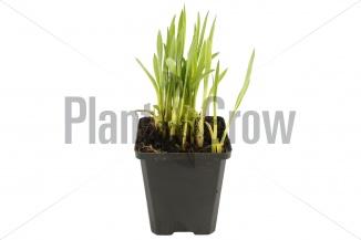 Hemerocallis 'Sammy Russell' | Daglelie (pot 9x9cm)