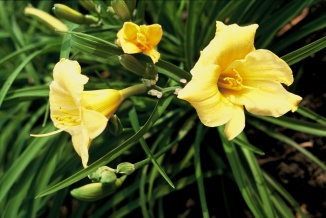 Hemerocallis 'Stella de Oro' | Daglelie