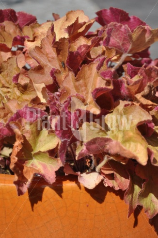 Heuchera 'Caramel' | Purperklokje in pot