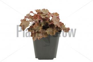 Heuchera microphylla 'Palace Purple' | Purperklokje (pot 9x9cm) - NAJAAR