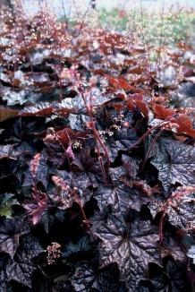 Heuchera microphylla 'Palace Purple' | Purperklokje