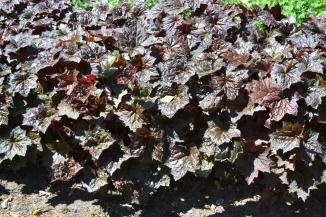 Heuchera microphylla 'Palace Purple' | Purperklokje