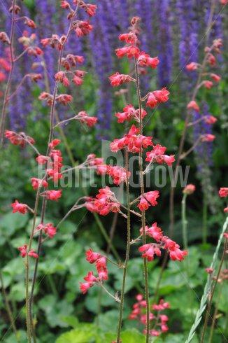 Heuchera sanguinea 'Leuchtkäfer' | Purperklokje in bloei