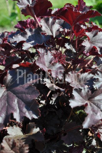Heuchera 'Stormy Seas' | Purperklokje close up van blad