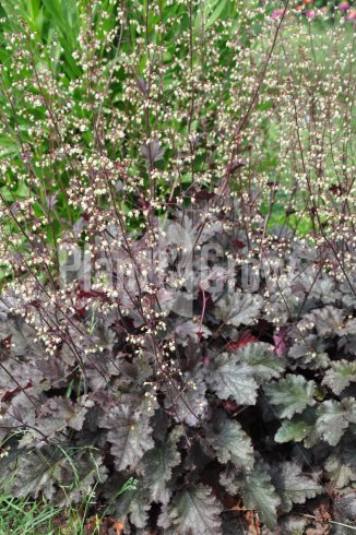 Heuchera 'Stormy Seas' | Purperklokje in bloei