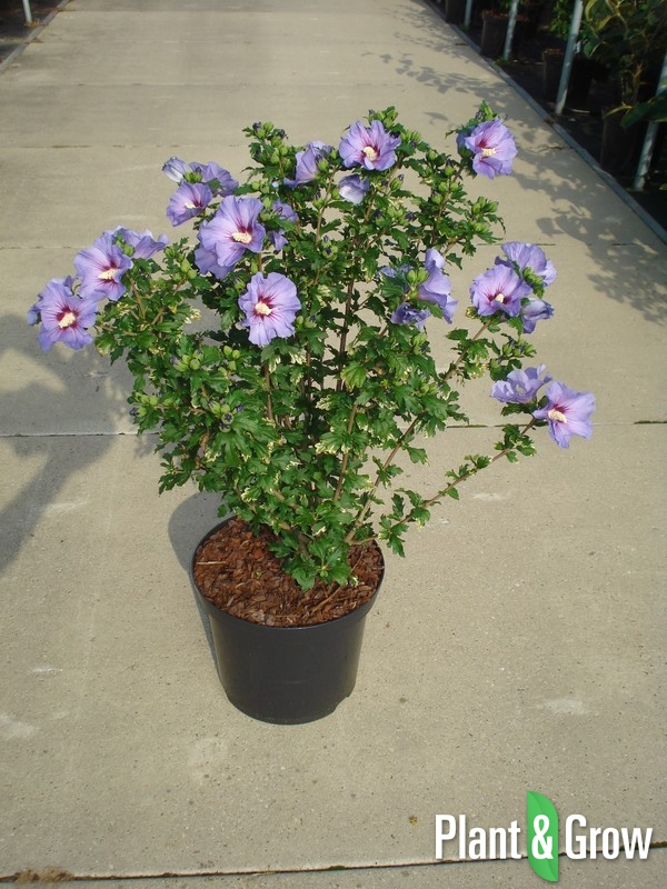 hibiscus syriacus 39 oiseau bleu 39 kopen plant grow. Black Bedroom Furniture Sets. Home Design Ideas