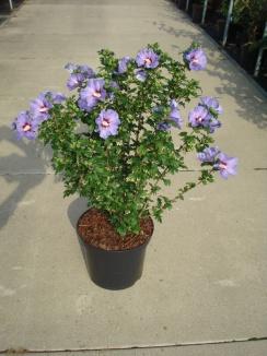 Hibiscus syriacus 'Oiseau Bleu' | Hibiscus (12L pot)