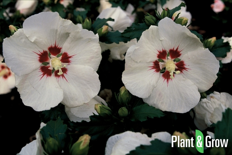 hibiscus syriacus 39 red heart 39 kopen plant grow. Black Bedroom Furniture Sets. Home Design Ideas