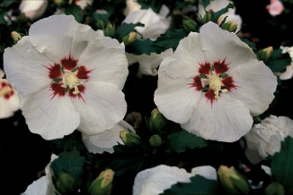 Hibiscus syriacus 'Red Heart' | Hibiscus